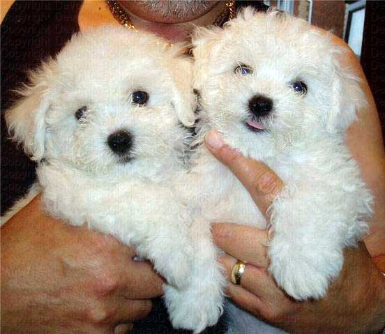 Bolognese Puppies: Bolognese Bolognese Puppies Breed