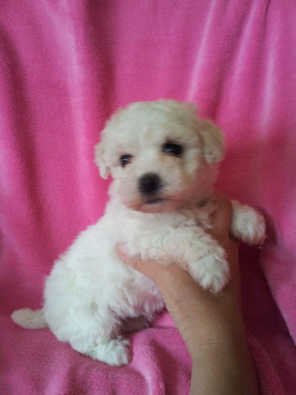 Bolognese Puppies: Bolognese Bolognese Puppies For Sale Castleford Breed