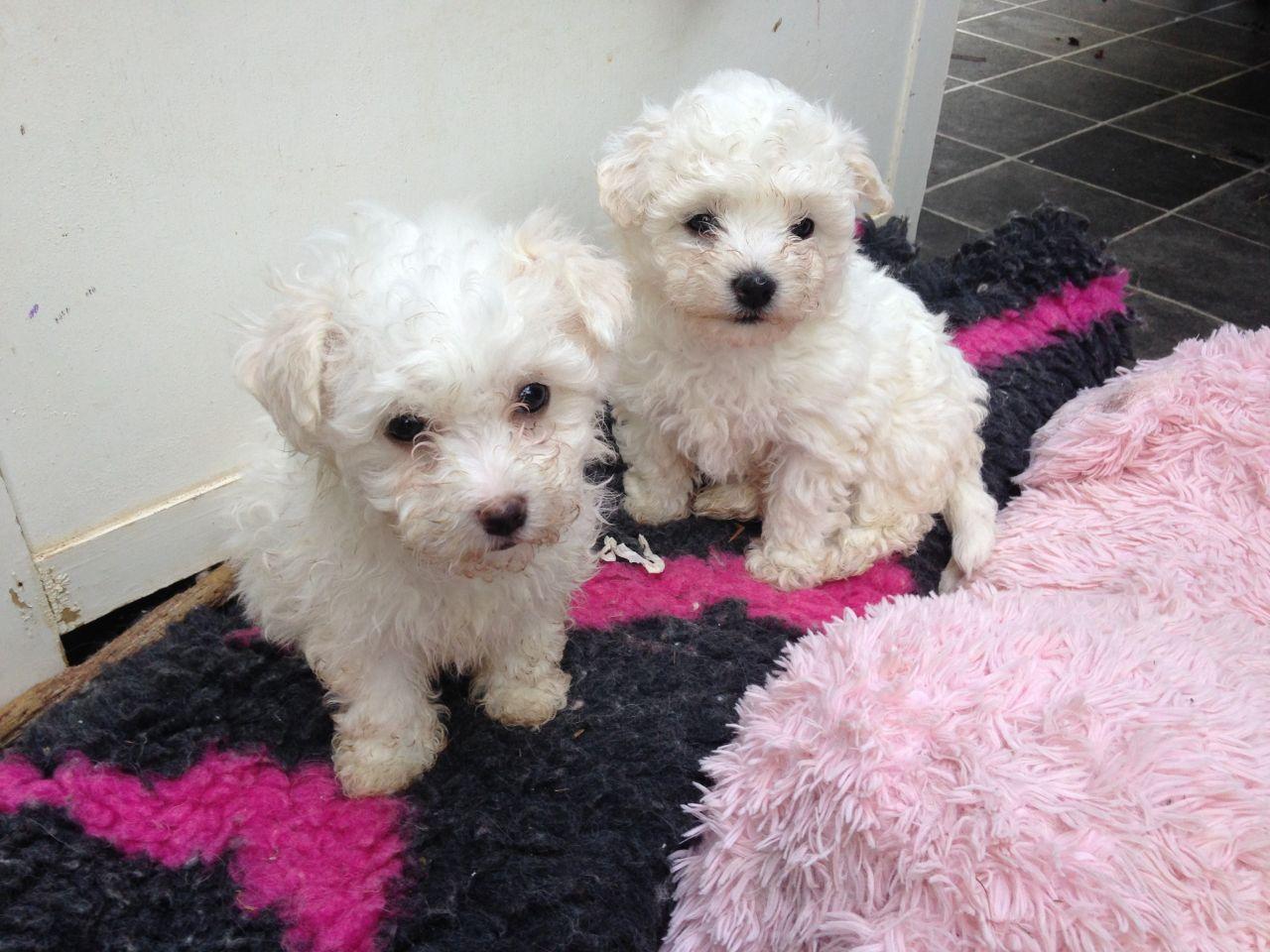 Bolognese Puppies: Bolognese Bolognesepuppiesforsale Breed