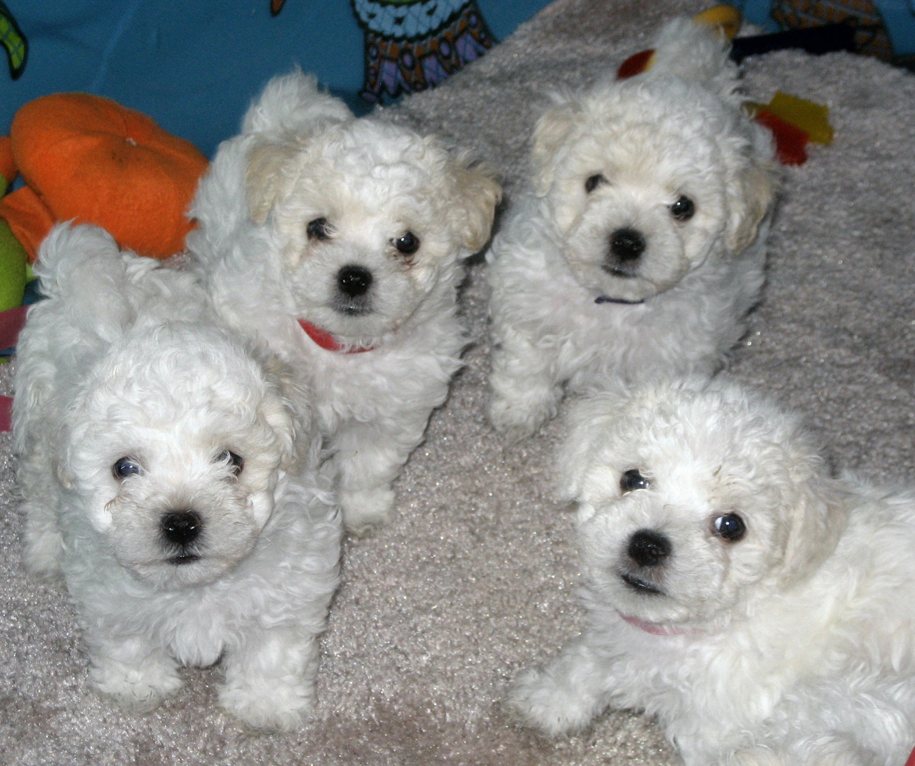 Bolognese Puppies Puppy Dog Gallery