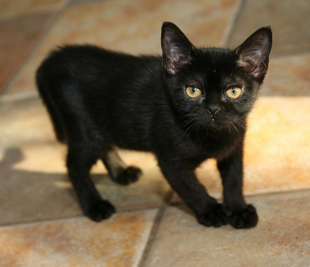 Bombay Kitten: Bombay Breed