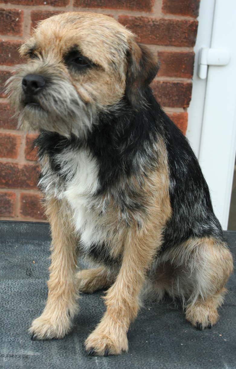 Border Terrier Dog: Border Advertdetail Breed