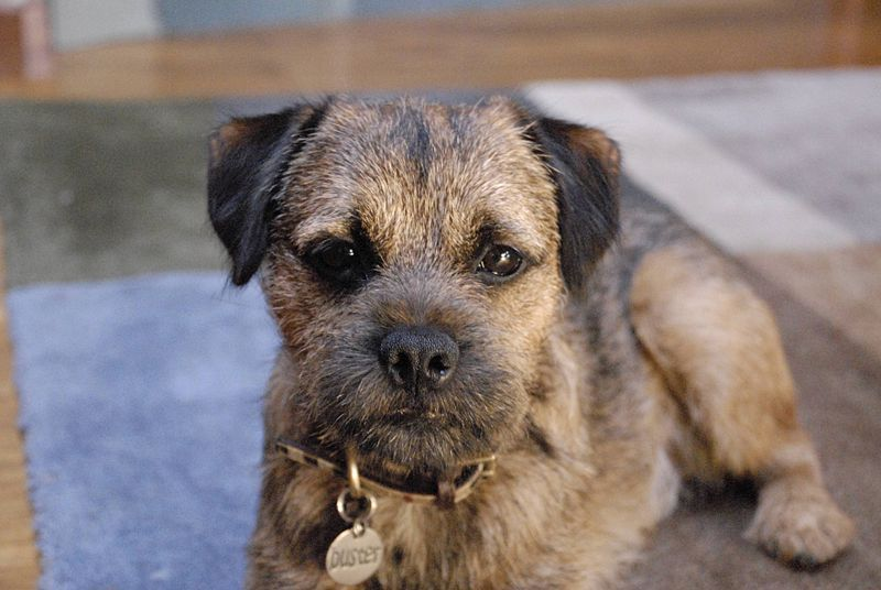 Border Terrier Dog: Border Border Terrier Breed