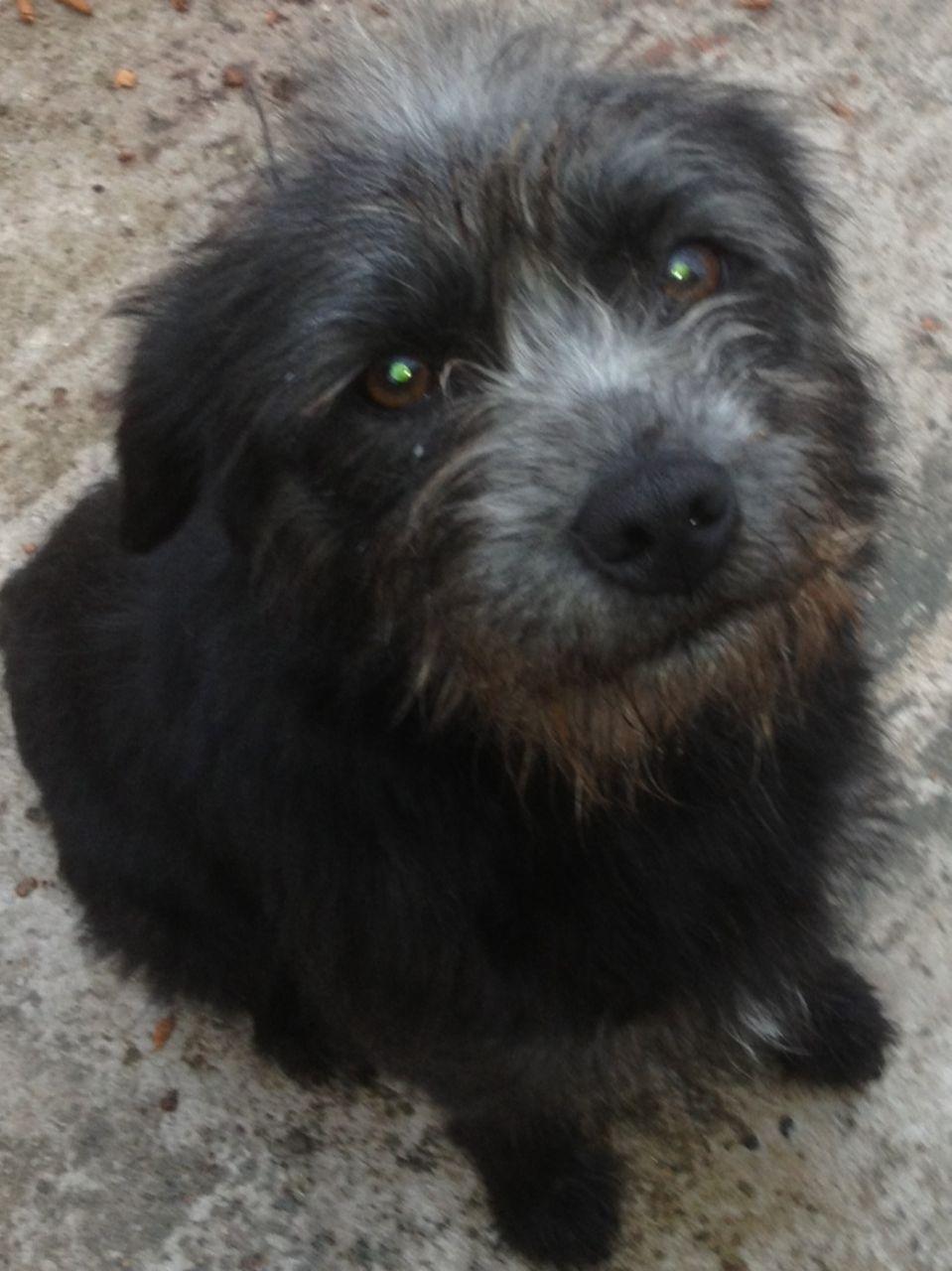 Border Terrier Dog: Border Border Terrier Cross Dog For Sale Whitchurch Breed