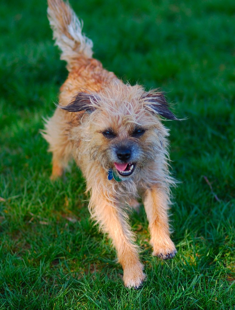 Border Terrier Dog: Border Border Terrier Dog Breed