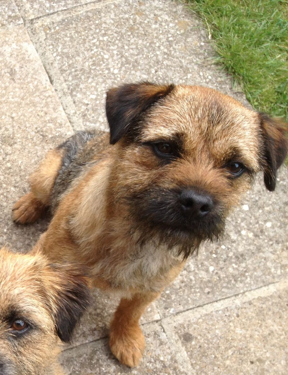 Border Terrier Dog: Border Border Terrier Dog For Sale Brough Breed