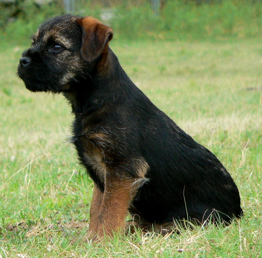 Border Terrier Dog: Border Border Terrier Dog Jack Breed
