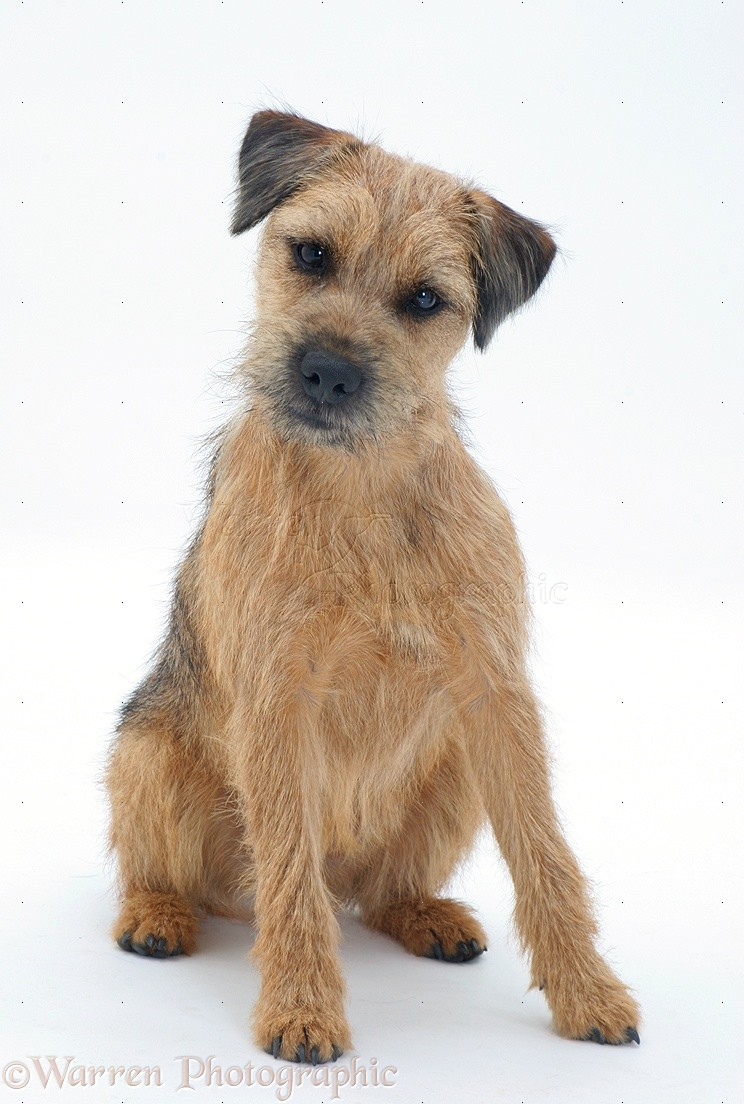 Border Terrier Dog: Border Border Terrier Dog Listening With Ears Cocked Breed
