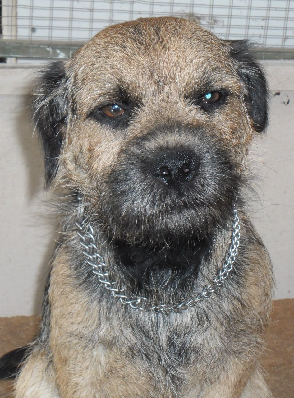 Border Terrier Dog: Border Border Terrier Dog Loughborough Breed
