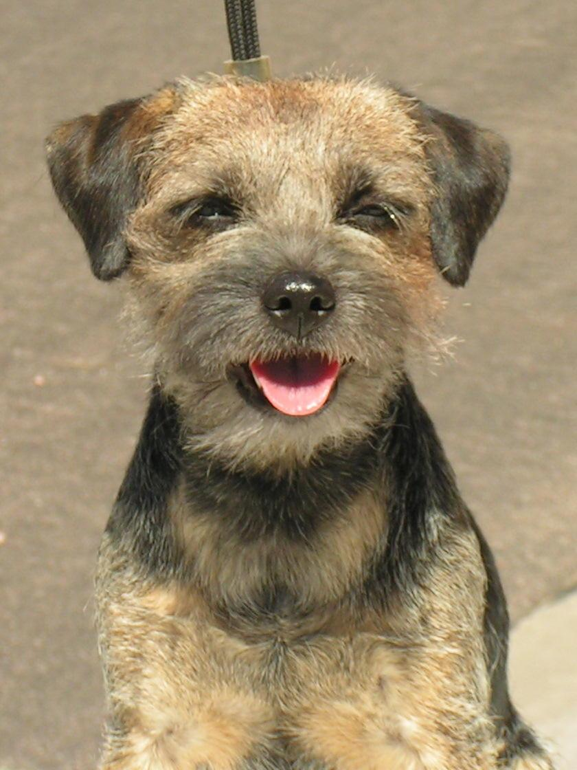 Border Terrier Dog: Border Border Terrier Dogs Breed