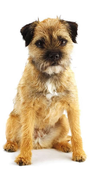 Border Terrier Dog: Border Border Terrier Down To Earth Breed