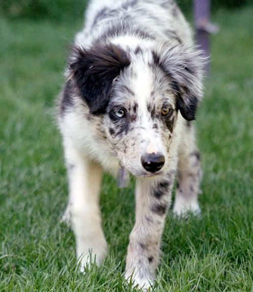 Border Collie Dog: Border Bordercollie Breed