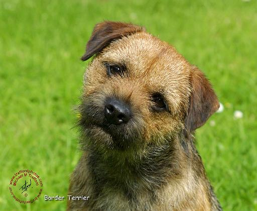 Border Terrier Dog: Border Borderterrierwd Breed