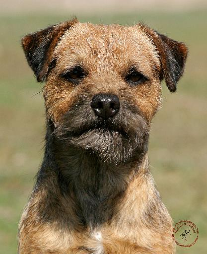 Border Terrier Dog: Border Borderterrieryd Breed