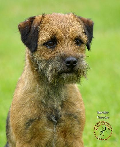 Border Terrier Dog: Border If I Was Allowed A Dog It Would Have To Fit Very Strict Guidelines The Wife Breed