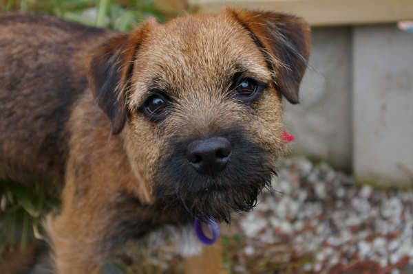 Border Terrier Puppies: Border Rafa Breed