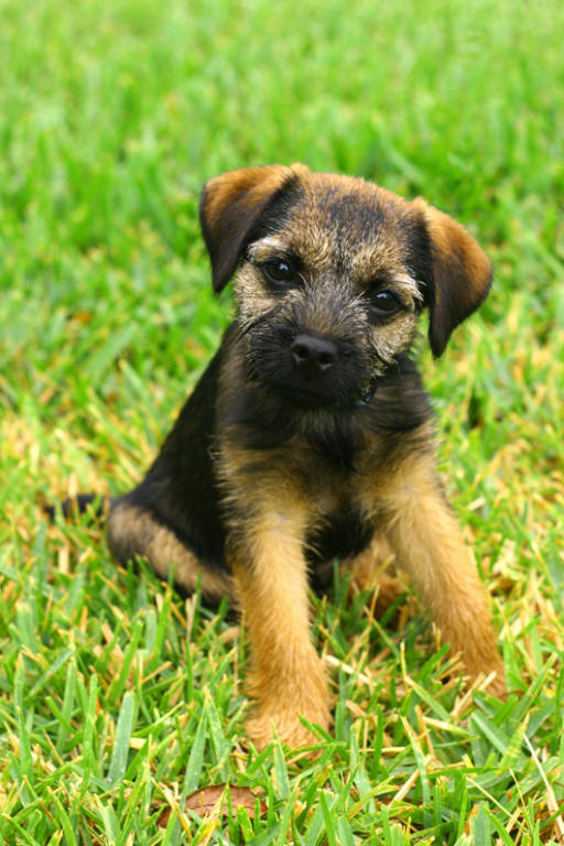 Border Terrier Dog: Border Wpbcdac Breed