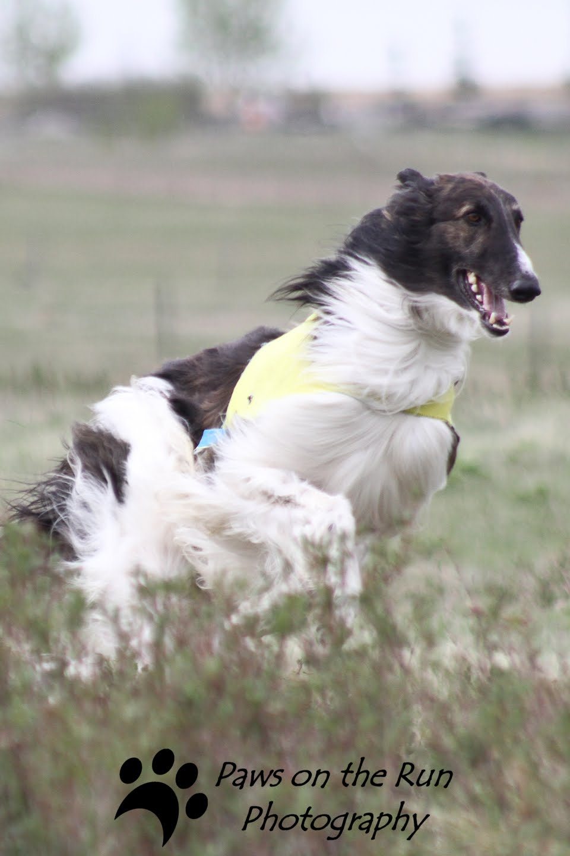 Borzoi Dog: Borzoi Borzoi Dog Breed