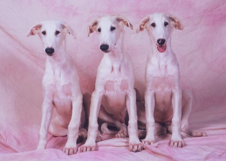 Borzoi Puppies: Borzoi Breed