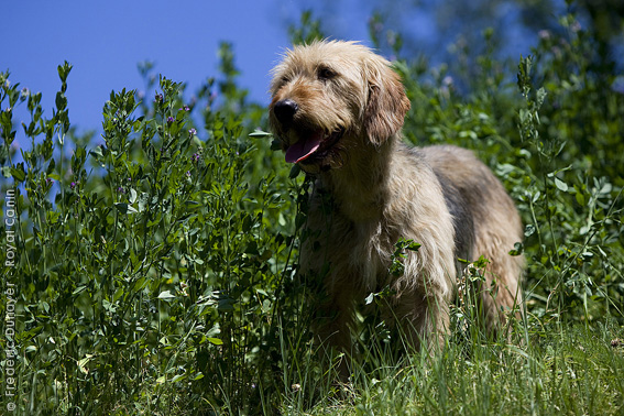 Bosnian Coarse-haired Hound Dog: Bosnian Bosniancoarse Hairedhound Breed