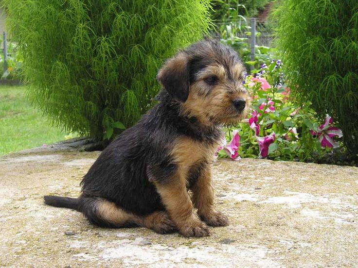 Bosnian Coarse-haired Hound Puppies: Bosnian Breed