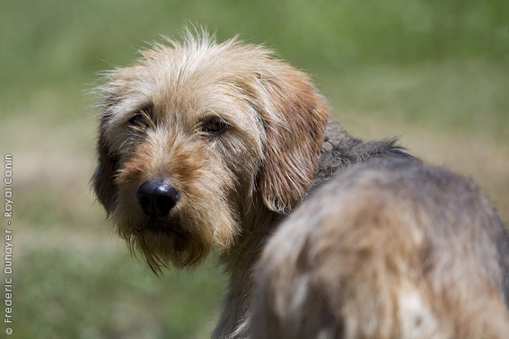 Bosnian Coarse-haired Hound Dog: Bosnian Sabueso Bosnio Breed