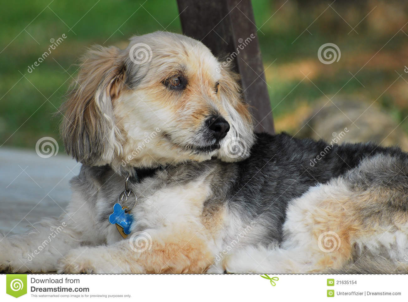 Bosnian Coarse-haired Hound Dog: Bosnian Stock S Bosnian Coarse Haired Hound Breed