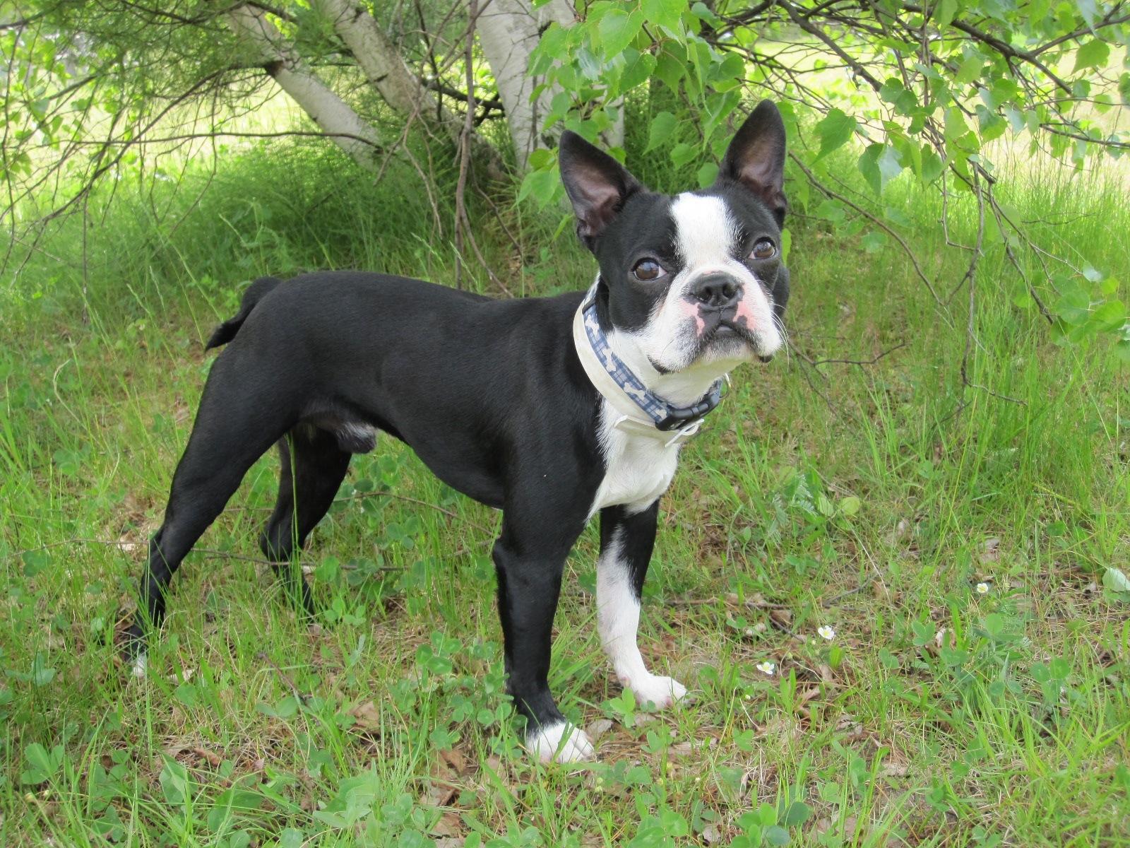 Boston Terrier Dog: Boston Baseball Dog Rocky The Boston Terrier Breed