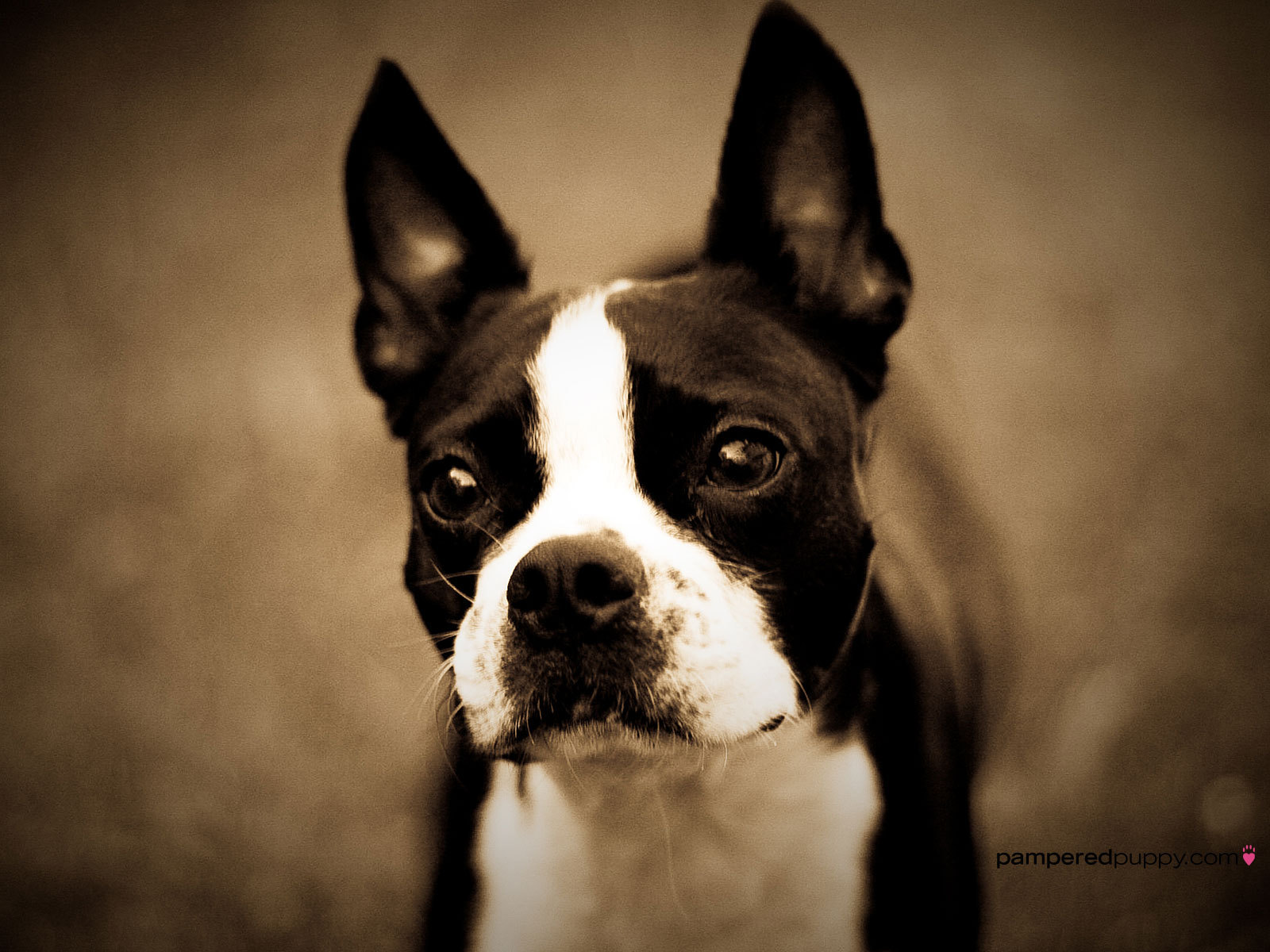 Boston Terrier Dog: Boston Boston Terrier Boston Terrier Breed