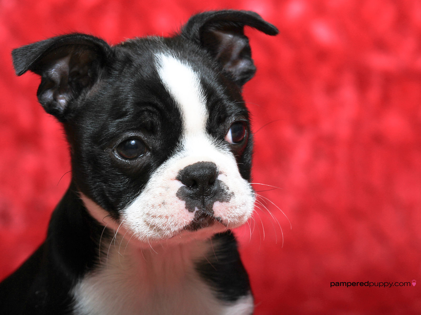 Boston Terrier Dog: Boston Boston Terrier Puppy Breed
