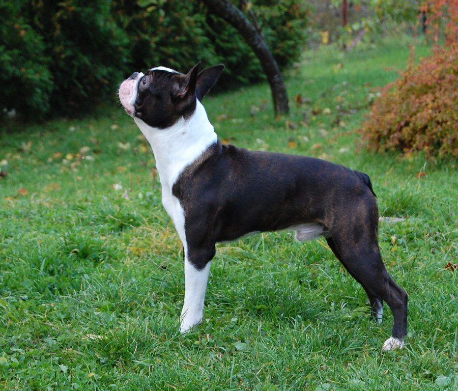 Boston Terrier Dog: Boston Boston Terriers Breed