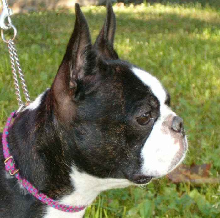 Boston Terrier Dog: Boston Breed