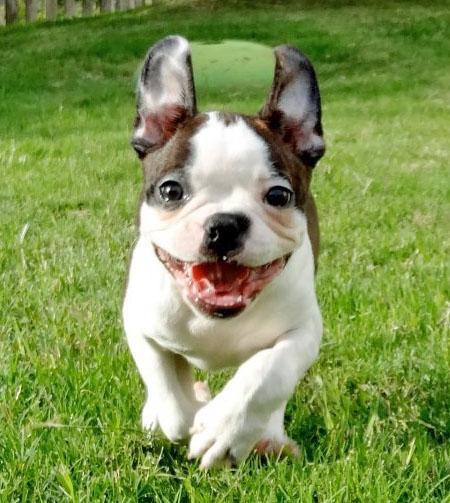 Boston Terrier Puppies: Boston Helo The Boston Terrier Breed