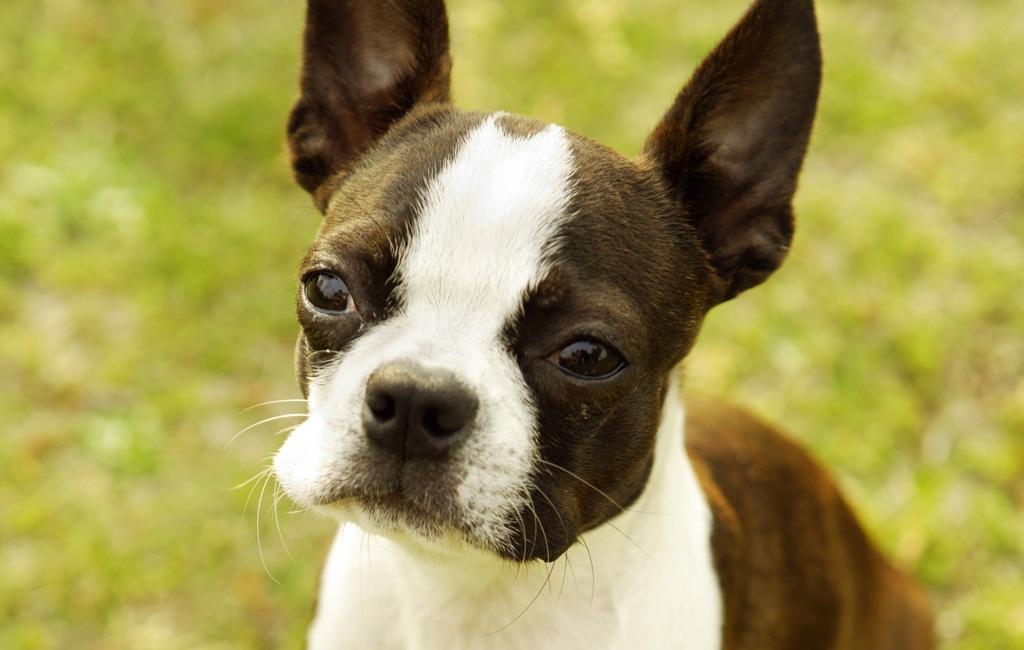 Boston Terrier Dog: Boston Lovely Boston Terrier Breed