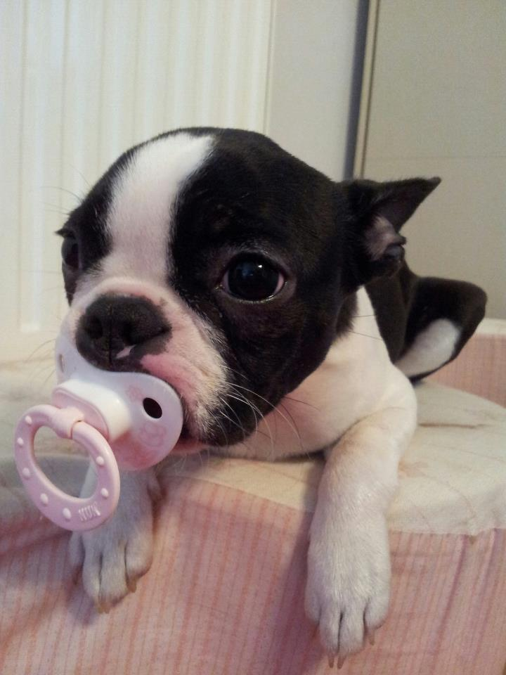 Boston Terrier Puppies: Boston Of The Cutest Pictures Of Boston Terrier Puppies Breed