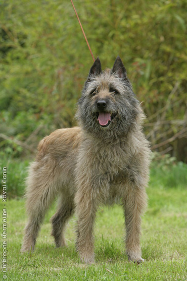 Bouvier des Ardennes Dog: Bouvier Bouvierdesardennes Breed