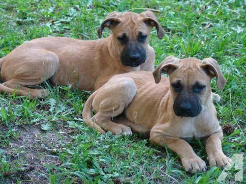 Catahoula Cur Puppies: Boxer Cricket Black Mouth Catahoula Cur Or Boxer Mix Large Breed