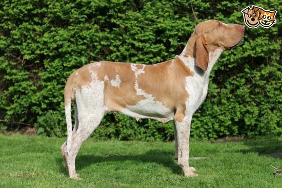 Bracco Italiano Puppies: Bracco Bracco Pups Due Pontefract Breed