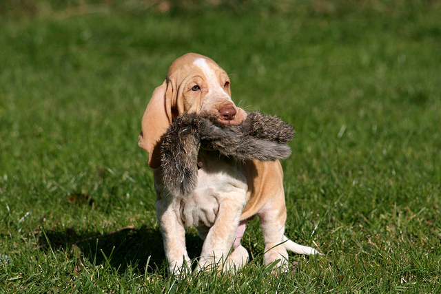Bracco Italiano Puppies: Bracco Breed