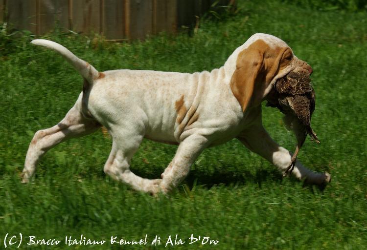 Bracco Italiano Puppies: Bracco Di Ala Doro Ee Breed