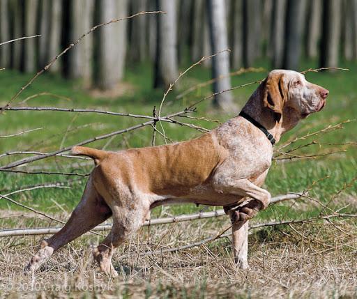 Bracco Italiano Puppies: Bracco Top Cacciatori Parte Breed
