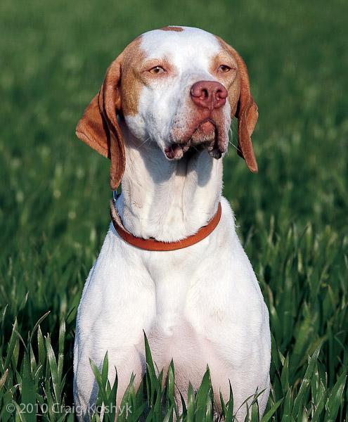 Braque Saint-Germain Puppies: Braque Archive Breed