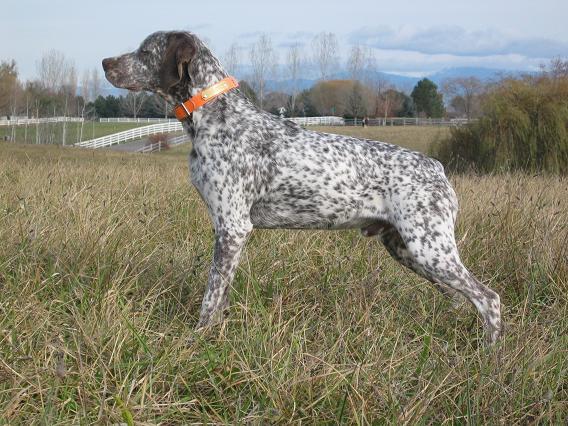 Braque du Bourbonnais Dog: Braque Bourbonnais Pointing Dog Braque Du Breed