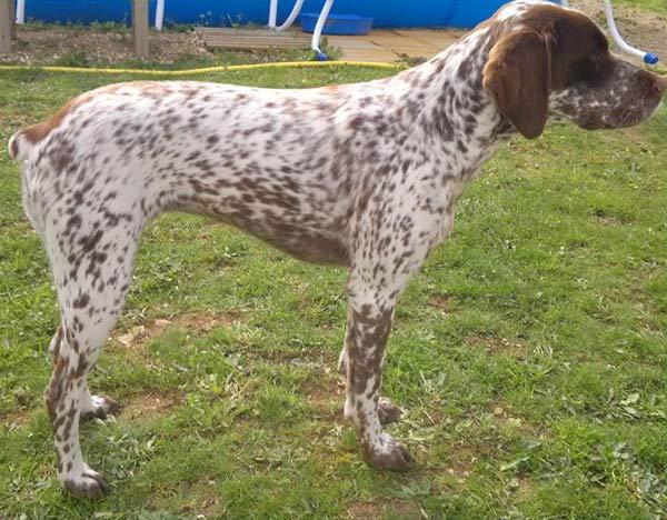 Braque du Bourbonnais Dog: Braque Bourbonnais Pointing Dog Breed