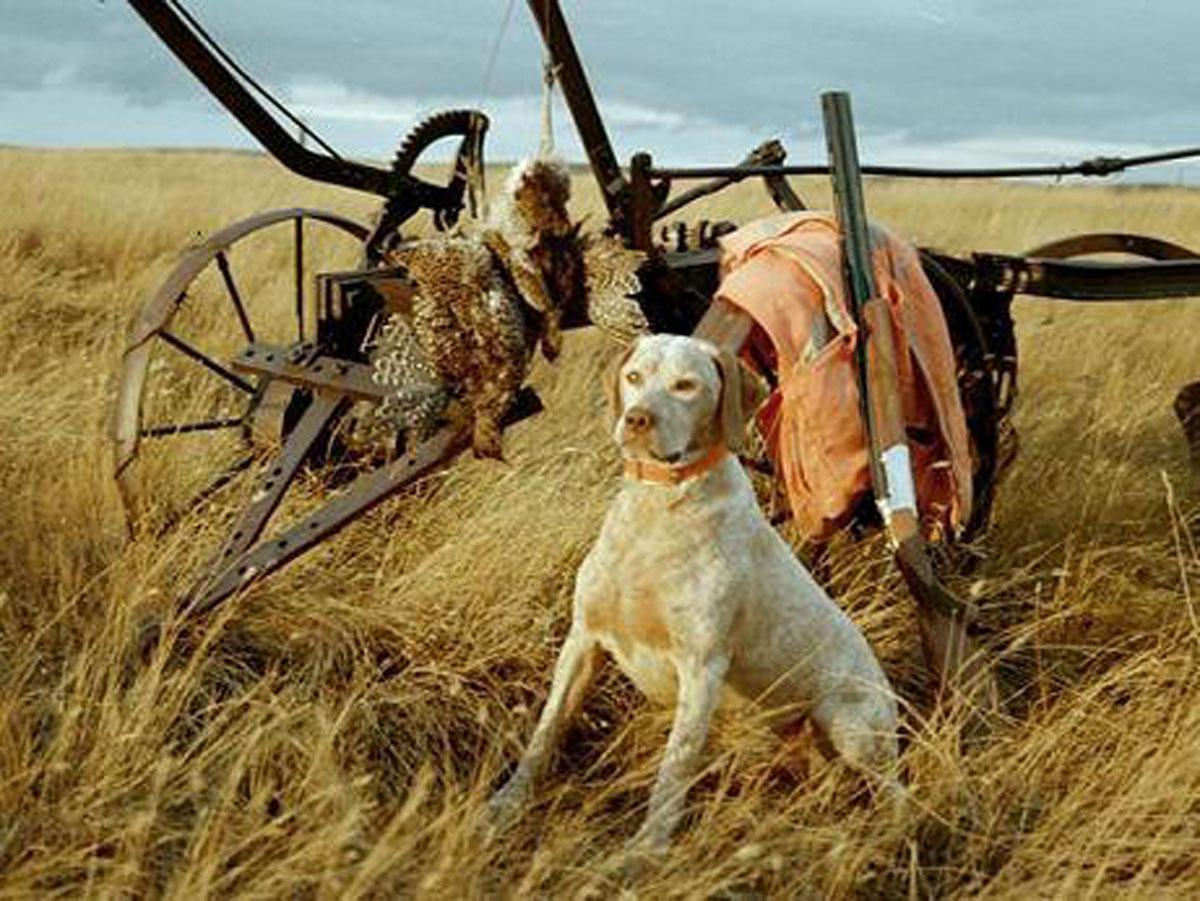Braque du Bourbonnais Dog: Braque Braque Du Bourbonnais And Plane Breed