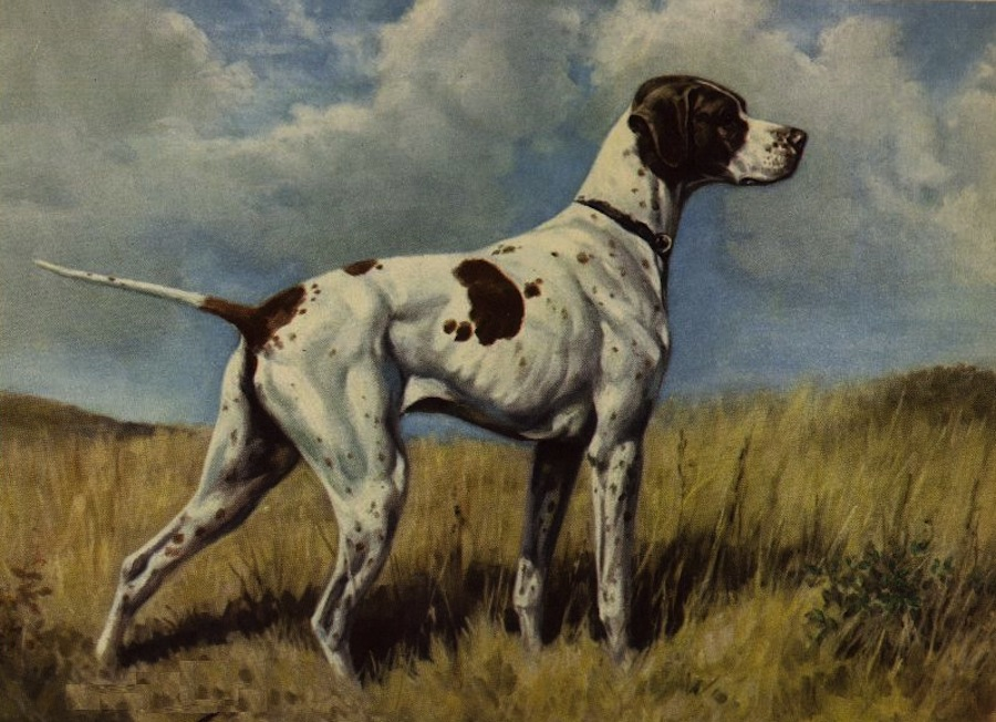 Braque du Puy Dog: Braque Braque Du Puy Breed