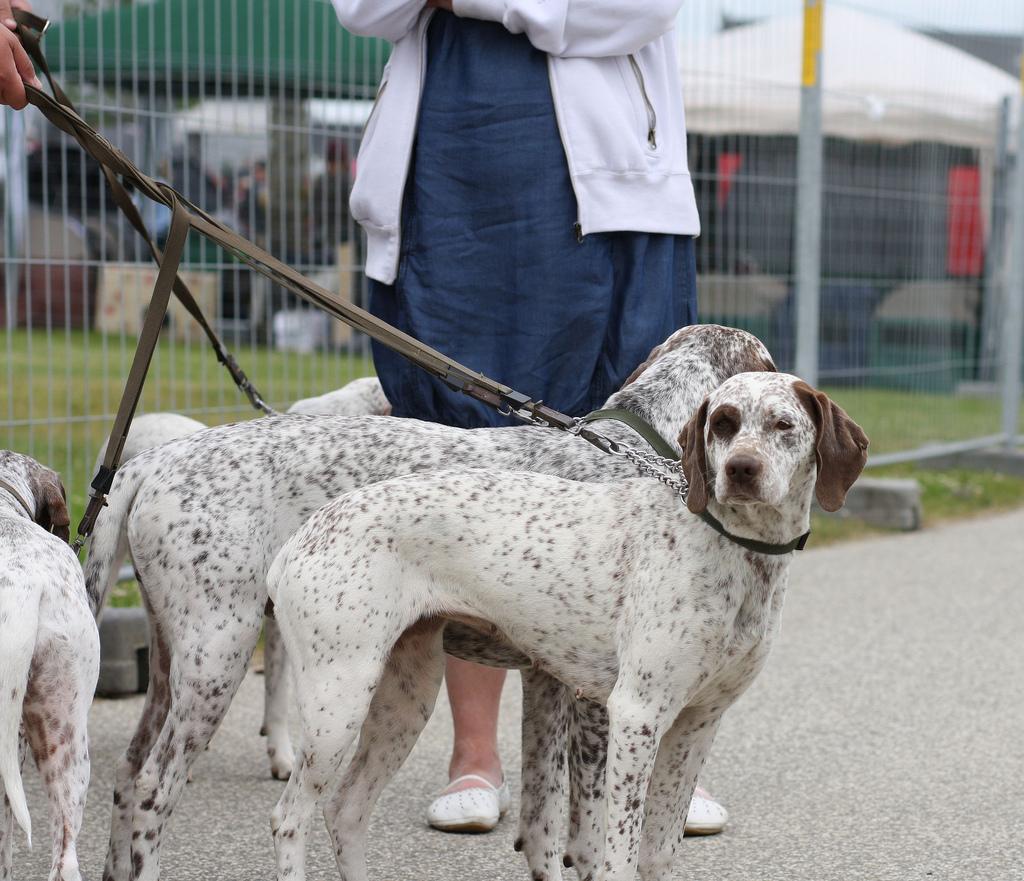 Braque du Bourbonnais Dog: Braque Breed Profile Braque Du Bourbonnais