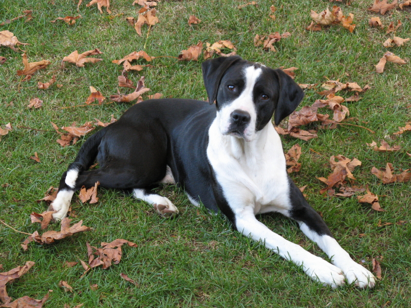 Braque du Puy Puppies: Braque Canadian Pointer Dog Breed