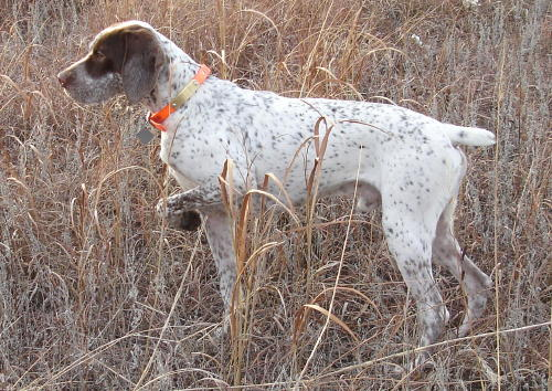 Braque du Bourbonnais Dog: Braque Dogspeciesgundogs Breed