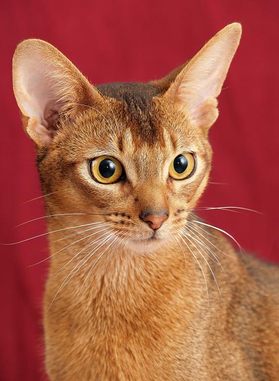Brazilian Shorthair Kitten: Brazilian Abessiner Breed